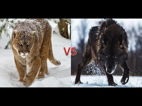 COUGAR VS ANIMALS / Cougar Vs Wolf, Bear, Jaguar, Coyote,.