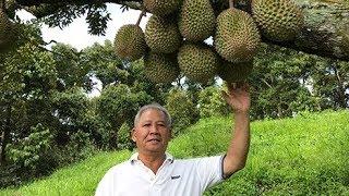 Video The Hunt For Musang King : The Fook Gor Durian Estate, Sg Klau 勞勿福哥榴莲农场民宿 MP3, 3GP, MP4, WEBM, AVI, FLV Agustus 2018