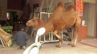 Heyuan China  city photos : Camel in Heyuan, China