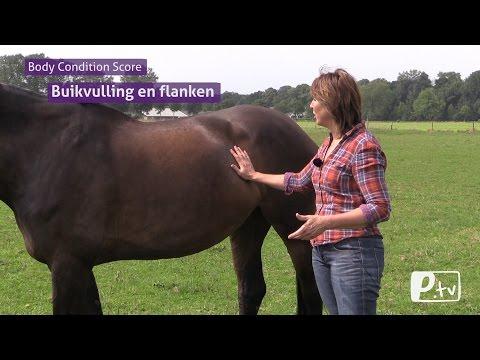 Body condition score (BCS) paard   geen beoordeling van buikvulling of flanken (видео)