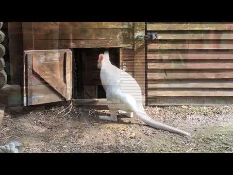 Györ/Ungarn: Weisses Känguruh im Györer Zoo