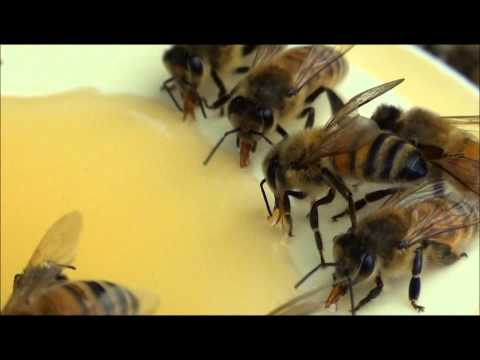 BEEKEEPING: HONEYBEES GORGING…QI