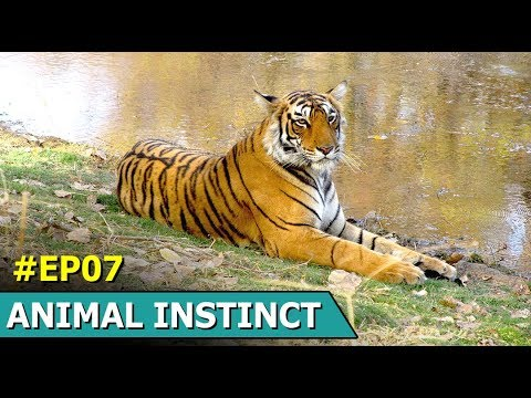 Wildlife Diaries Of Tiger And Others | Animal Instinct | Episode 7