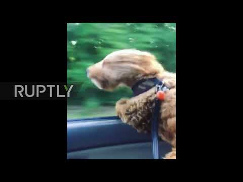 May the force be with you! 'Chewbacca' dog braves the wind