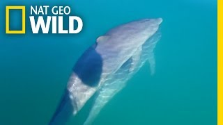 Male Bottlenose Dolphin Friends 'Hold Hands' | Nat Geo Wild by Nat Geo WILD