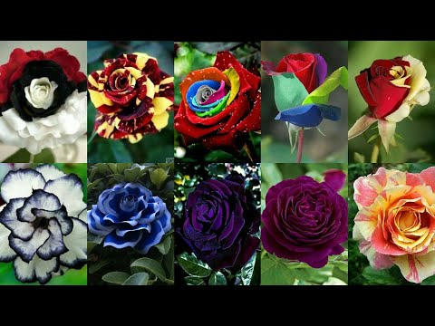 #Most #Beautiful Flowers Pictures | #Roses #Colors | Beautiful Pictures Of Roses | Roses Pictures