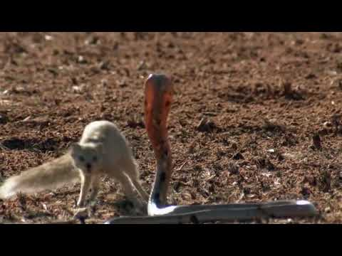 Snake King Cobra Vs Mongoose Real Fight Big Battle In The Desert   Most Amazing Attack of Animals