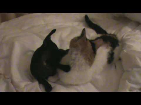 CHIHUAHUA KILLS A CAT