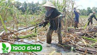 Thanh Hóa: Nhiều nông dân mất mùa mía vì ngập úng