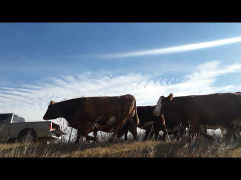 Cattle drive ridealong