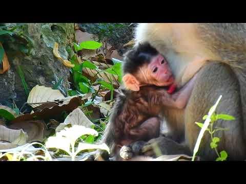 Congratulation Today ! Jane Monkey Gave new Baby Born , New update Jane monkey , Jane monkey today
