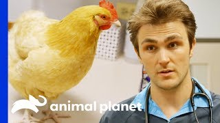 X-Ray Reveals Metal Screws In Chicken's Gizzard!   Hanging With The Hendersons by Animal Planet