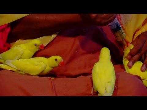 Sri Swamiji feeds the Birds of Shuka Vana (Parrot Park)