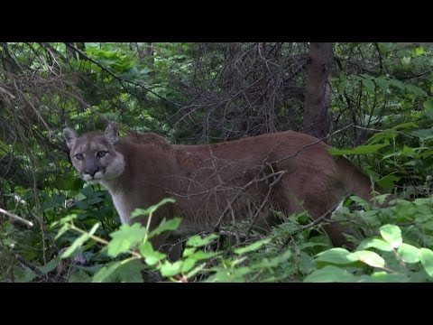 Hiker encounters a mountain lion