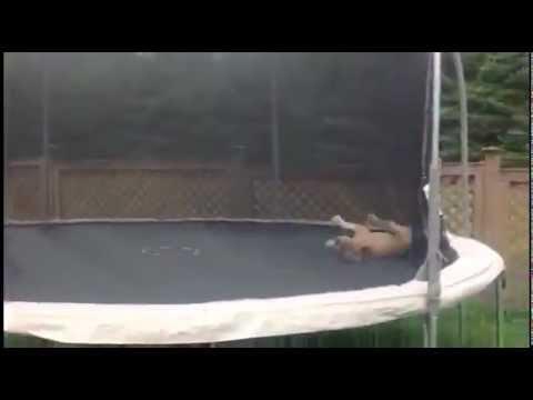 La mejor rutina en trampolin de un Bulldog