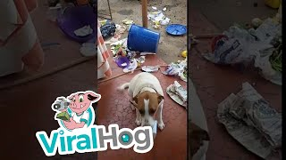"Occurred on December 20, 2016 / Campinas, Sao Paulo, Brazil""Henrique the dog destroyed the trash and scattered it in the whole yard. After the scolding I gave him, he apologized with the jar of margarine in his mouth.""TO SEE THE HOTTEST VIRAL VIDEOS DAILY...Subscribe to us on YouTube: https://goo.gl/A0gBKkLike us on Facebook: https://goo.gl/XQWqJtFollow us on Instagram: https://goo.gl/NMq8dlFollow us on Twitter: https://goo.gl/pF8XopViralHog is the resource for the best viral content.  Submit your own great video and make money: https://goo.gl/yejGkmContact licensing@viralhog.com to license this or any ViralHog video."