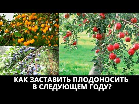 Что делать с деревом если оно не плодоносило в этом году? Как заставить плодоносить в следующем?
