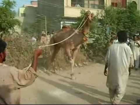 camel qurbani - this qurbani took place in malir 15, aswan town, karachi in the ground of shaheen school, at the time of sacrifice name of Hazret ALI and Ghosiya is mentione...