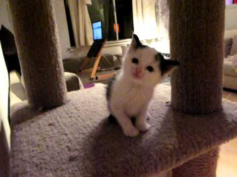 Adorable Squeaky Cow-bert - little kitty video