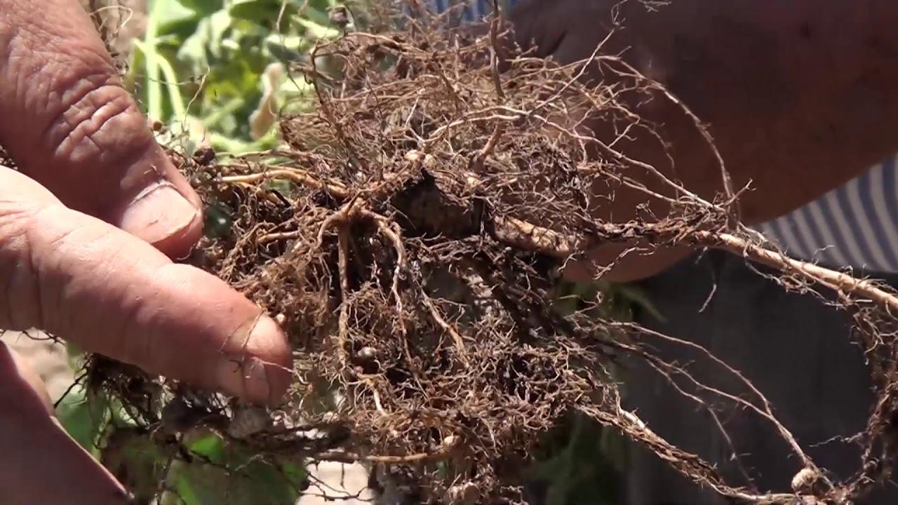 Cultivo de soja. Fertilización e incidencia del aluminio del suelo
