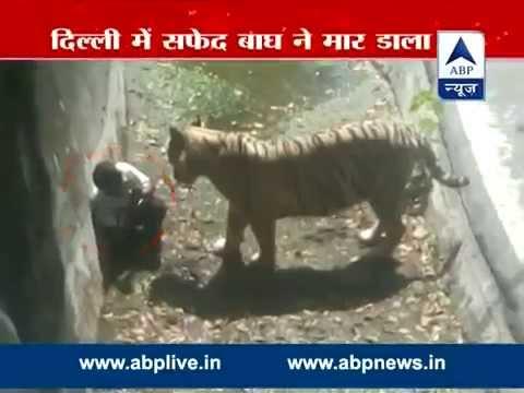 Tigre - Um tigre branco matou nesta terça-feira (23/9) um jovem que entrara no cercado em que o felino vive no zoo de Nova Délhi (Índia). De acordo com um porta-voz ...