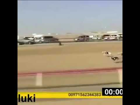 Video Dogs race download in MP3, 3GP, MP4, WEBM, AVI, FLV January 2017
