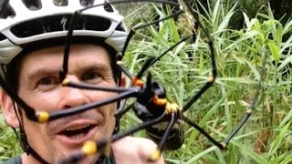 Crazy Australian Licks Massive Spider