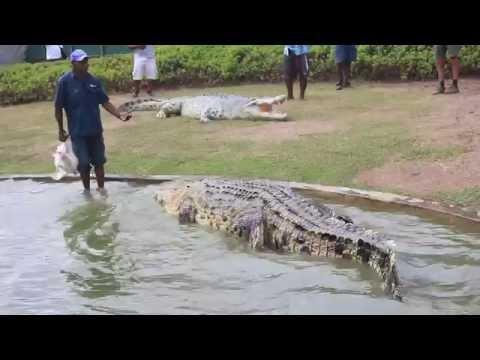 enorme coccodrillo in papua nuova guinea