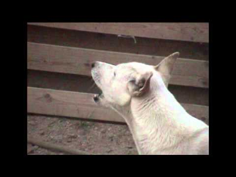 Wild born Canaan dog Digger sings to prayer call in Saudi