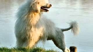 Small Fluffy Dog Breeds