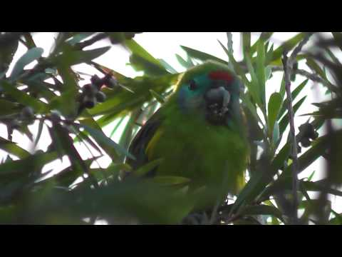 Double-eyed Fig-Parrot ? (Cyclopsitta diopthalma macleayana)