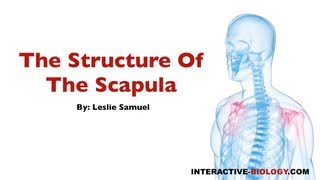 075 The Structure Of The Scapula