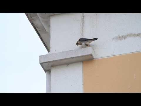 Peregrine falcon...falcão-peregrino (Falco peregrinus) — em Americana - SP