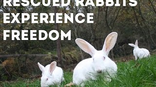 Rabbits Rescued from Laboratory Experiments Take First Steps of Freedom