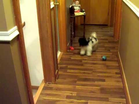 4-mo old havanese plays with toys