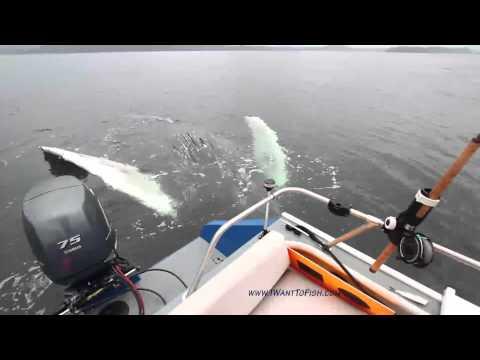 好奇的鯨魚來探望漁夫,還會揮手打招呼