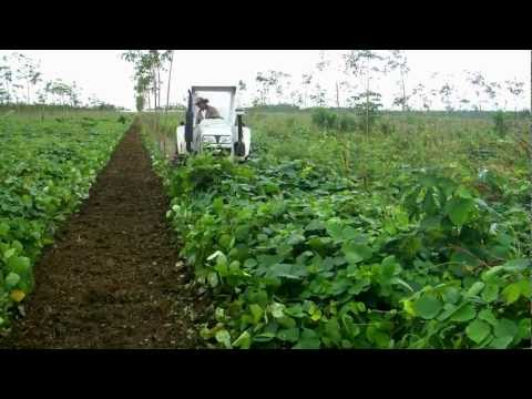 cultivo de caucho - Control mecanico de Mucuna bracteata mediante desbrozadora en cultivo de caucho en finca El Encanto, Colombia.