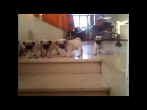 cuccioli di carlino - guardate cosa fanno!