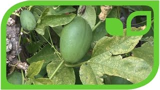 Die Passionsfrucht Eia Popeia