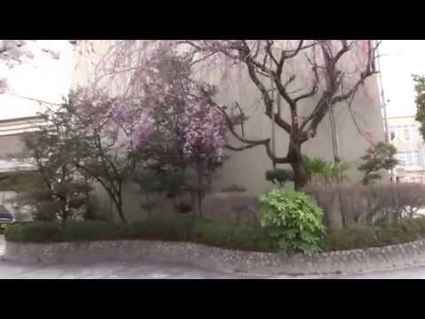 京都市 下鴨中学校 桜
