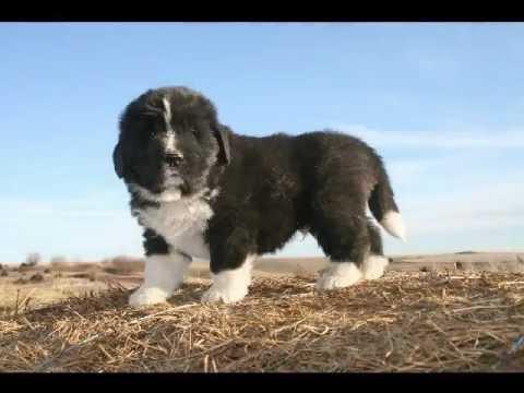 AKC Landseer Newfoundland Puppies 5 wks