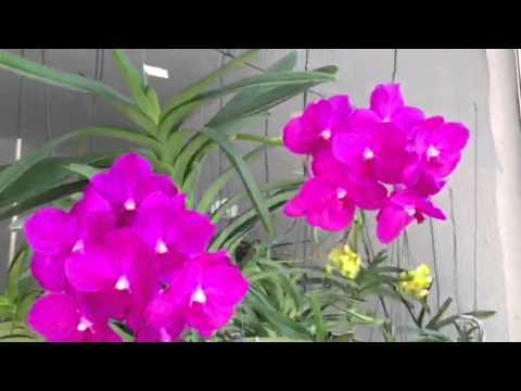 l'incantevole orchidea vanda