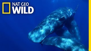 Sperm Whales Stay Close to Mom For Years | Nat Geo Wild by Nat Geo WILD