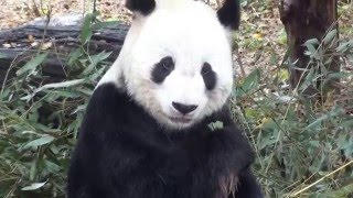 Gu Gu is panda Da Baitu's father. He has twins sister names Ye Ye. His mother is #21, and father is Pan Pan. His parents were all...