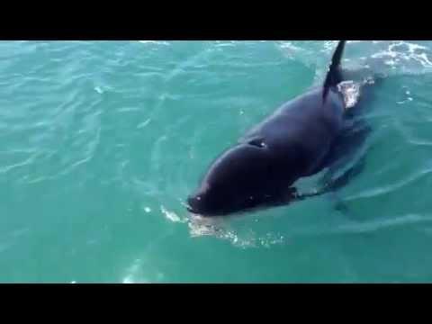 Orca roba pez a pescador