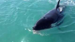 Killer whale steals fish