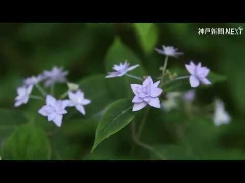 ヤマアジサイ「シチダンカ」が見ごろ 神戸・六甲山