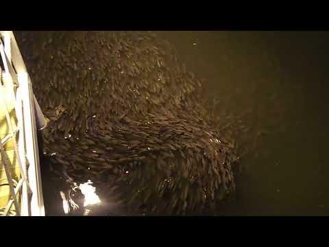 Зариблення ТОВ СП НІБУЛОН у Голій Пристані (відео редакції Рідна Пристань)