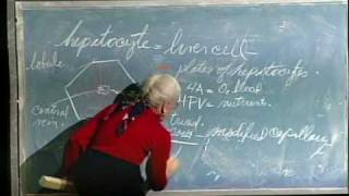 Integrative Biology 131 - Lecture 34: Digestive, Urinary Sys