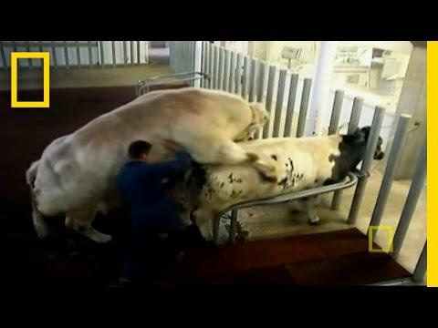 Super-Cow-Creators